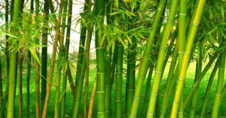 caule-bambu