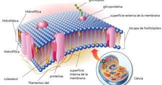 membrana-plasmática