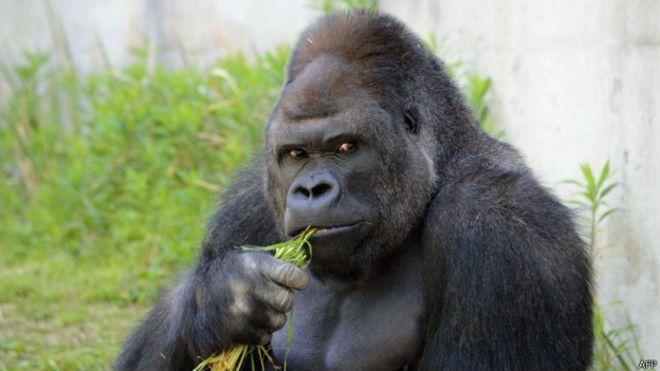 Gorila características