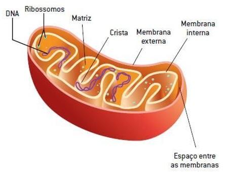 estrutura-mitocôndrias