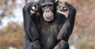 chimpanzé-comum-curiosidades