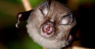 morcego ferradura Rhinolophus hipposideros