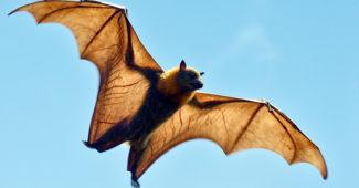 raposa-voadora