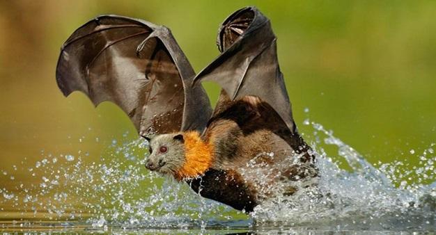 raposa-voadora-gigante