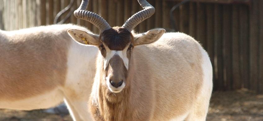 ádax-animal-do-deserto