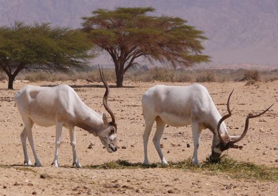 ádax-antilope