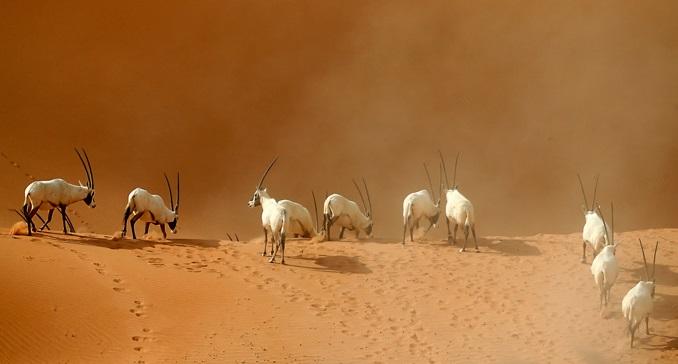 órix-animais-do-deserto