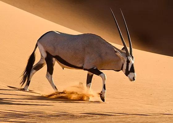 órix-antilope