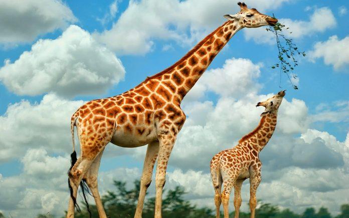 alimentação-da-girafa