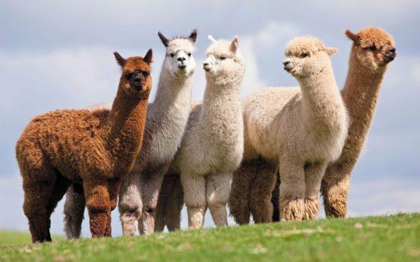 alpaca-animal