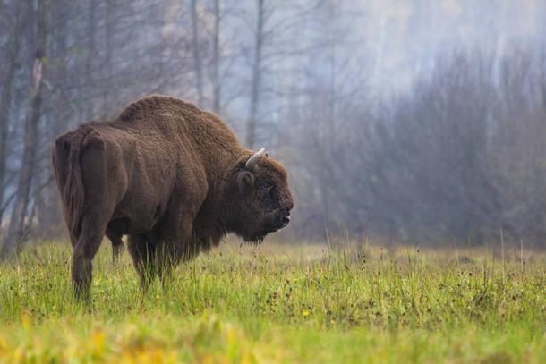 bisão-europeu
