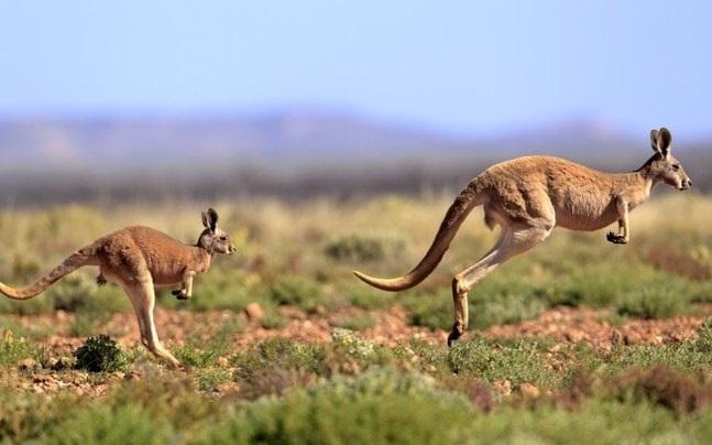 curiosidades-do-canguru-vermelho