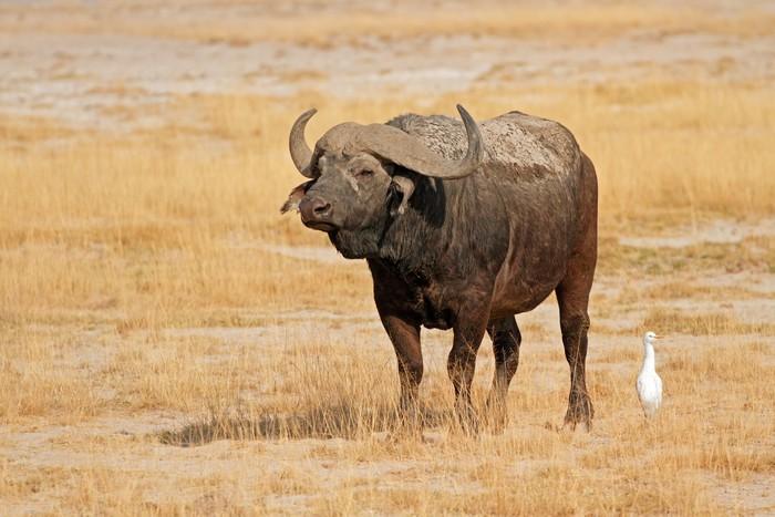 características-do-búfalo-africano