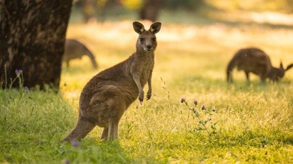 características-do-canguru-australiano