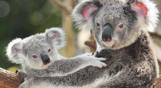 caracteristicas-e-curiosidades-do-coala