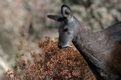cervo-almiscareiro