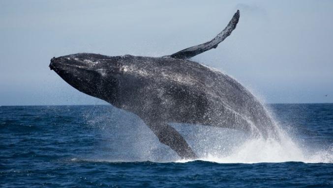 curiosidades-baleia-jubarte-saltando