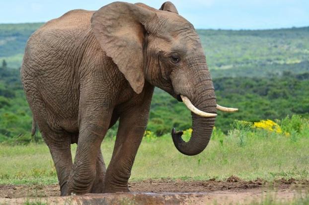 curiosidades-do-elefante-indiano