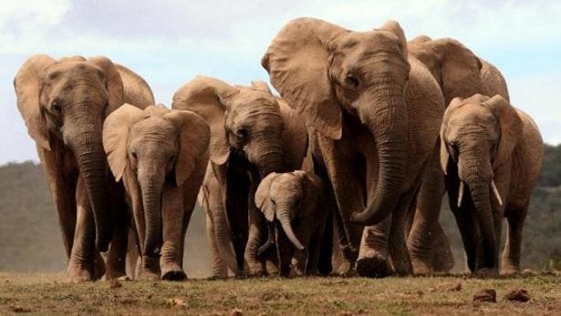 curiosidades-do-elefante