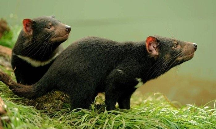 diabo-da-tasmania-exemplo-de-animal-marsupial