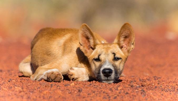 dingo-australiano