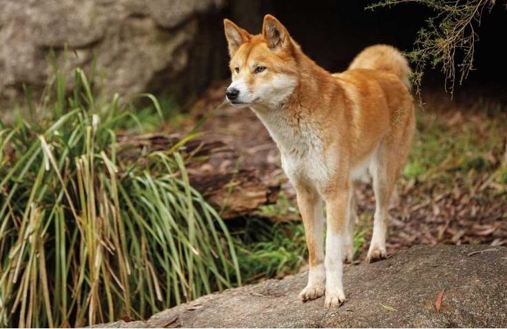 dingo-o-cão-selvagem-australiano