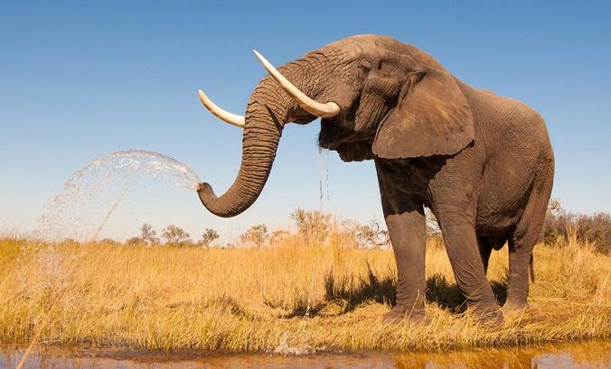 elefante-o-maior-animal-terrestre