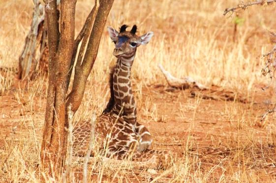 filhote-girafa-onde-vivem
