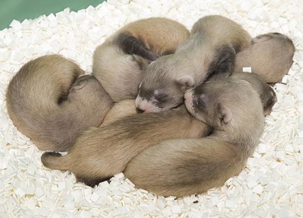 filhotes-de-furão