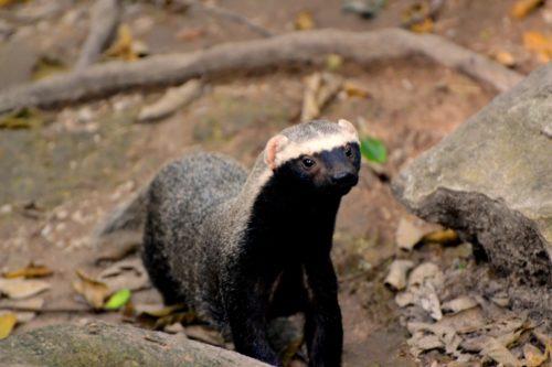 furão-animal-doméstico