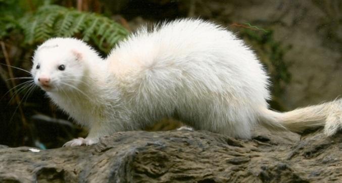 furão-branco