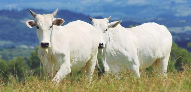 gado-zebu