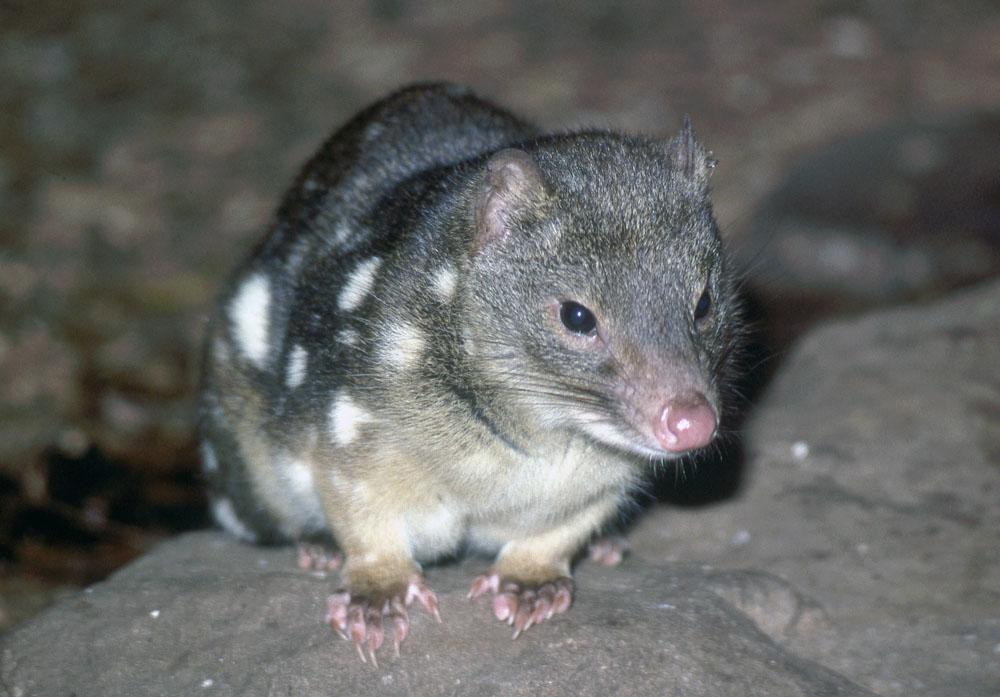 gato-marsupial