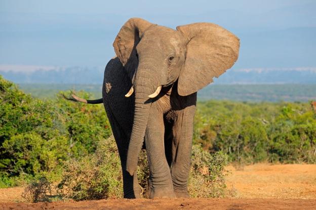 gigante-africano