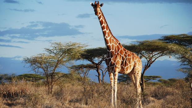 girafa-altura
