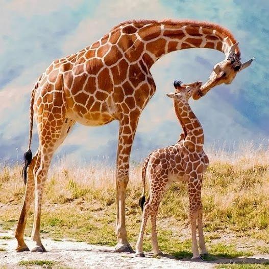 girafa-curiosidades