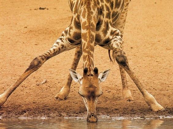 girafa-peso