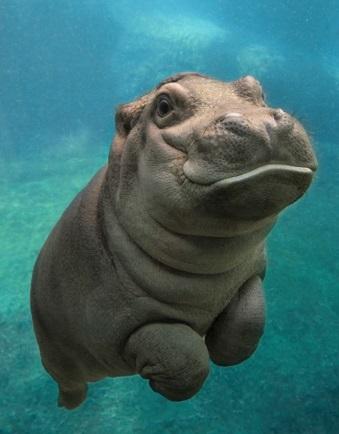 hiopotamo-na-água
