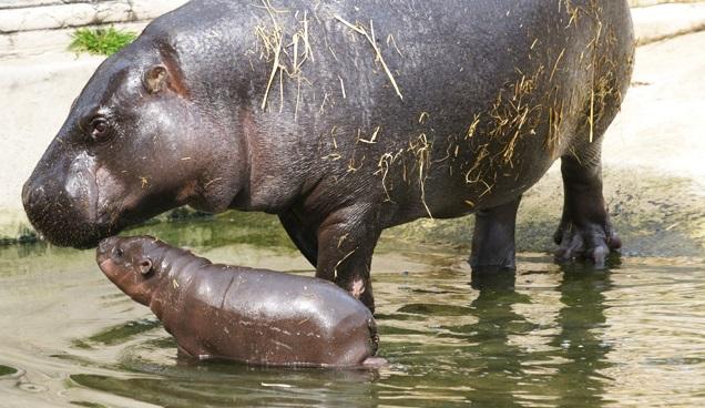 hipopotamo-pigmeu-filhote