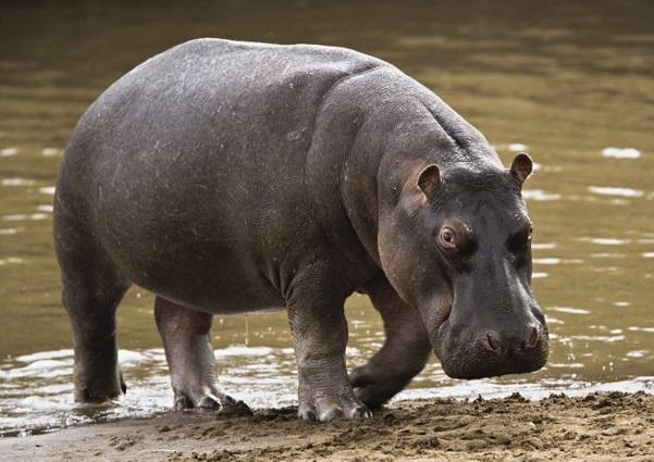 hipopotamo-tamanho