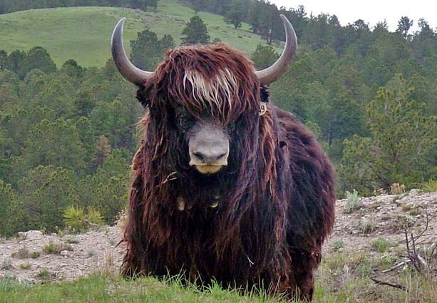 iaque-selvagem-wild-yak