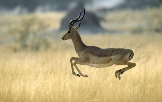 impala-animal