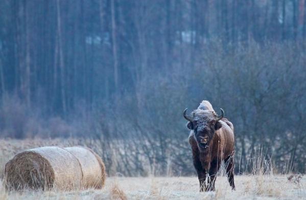 maior-animal-da-Europa