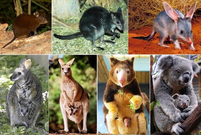 marsupiais-curiosidades