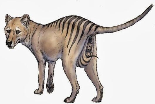 marsupio-do-tigre-da-tasmânia