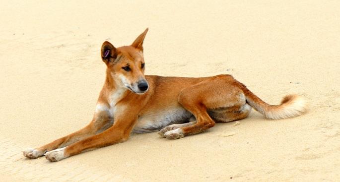 o-dingo-pode-ser-domesticado