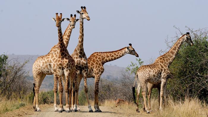 onde-vivem-as-girafas