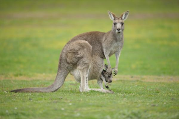 reprodução-do-canguru