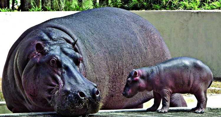 reprodução-do-hipopótamo