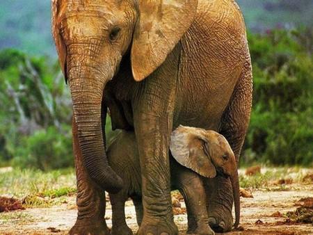 reprodução-elefante